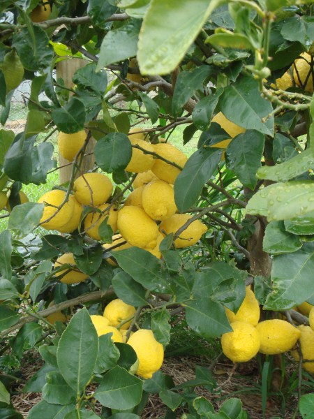 one of our lemon trees at Yummy Gardens Melbourne
