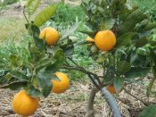 orange tree at Yummy Gardens Melbourne