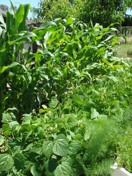 permaculture summer vegetables at Yummy Gardens Melbourne