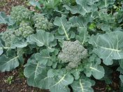 organic broccoli growing at Yummy Gardens Melbourne