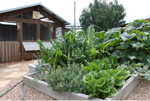 raised planter beds and chook house by Yummy Gardens Melbourne