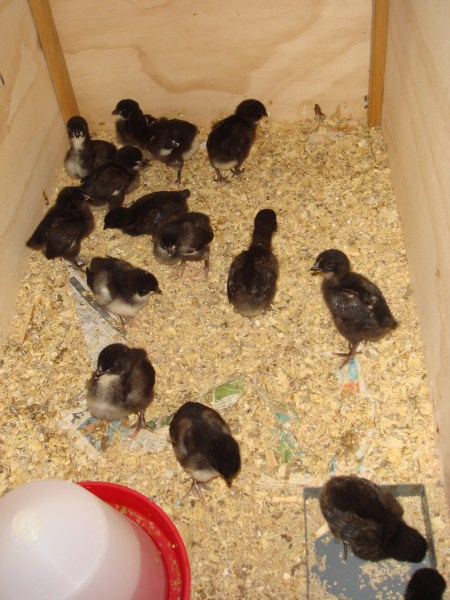 1 week old Australorp cross chickens bred by Yummy Gardens Melbourne