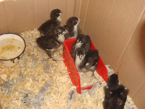 1 week old Australorp chickens bred by Yummy Gardens Melbourne
