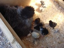 silkie with chickens hatching