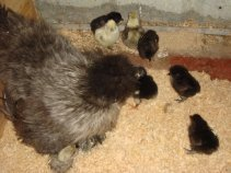 silkie bantam with day old chicks