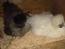 silkie bantams nesting