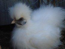 White Silkie Bantam Hen bred by Yummy Gardens Melbourne