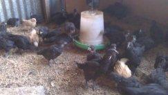 4 week old chicks at Yummy Gardens Melbourne November 2013