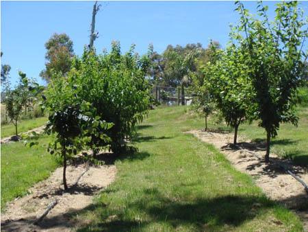backyard orchard apple tree
