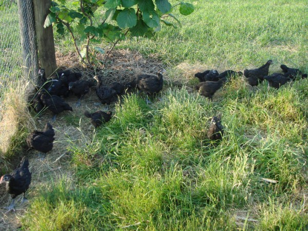 6 week old chickens bred by Yummy Gardens Melbourne