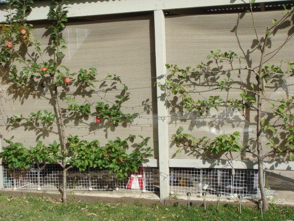 espalier fruit trees by Yummy Gardens Melbourne