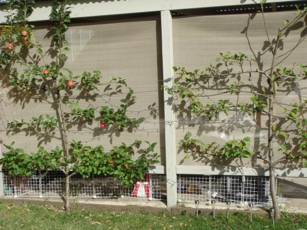 espalier fruit trees by Yummy Gardens Melbourne