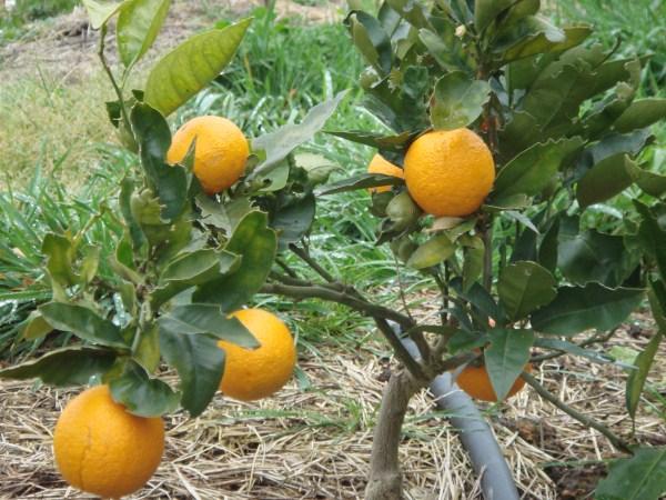 orange tree at Yummy Gardens Melbourne