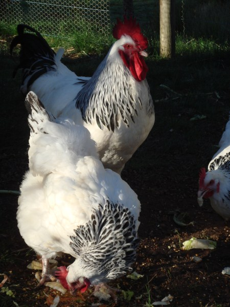 our light sussex chooks