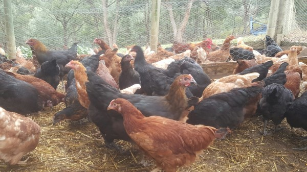 Point of lay chickens for sale at Yummy Gardens Melbourne