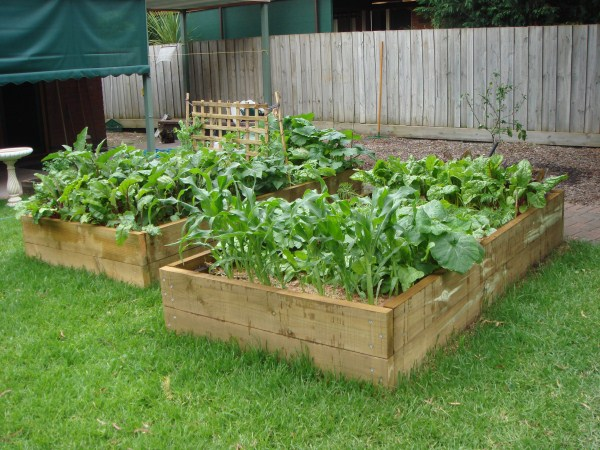 raised veggie beds 1 month after planting by Yummy Gardens Melbourne