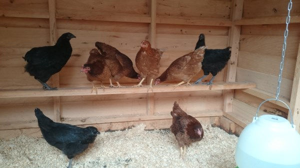 Crossbred hens in their new chookhouse built by Yummy Gardens Melbourne