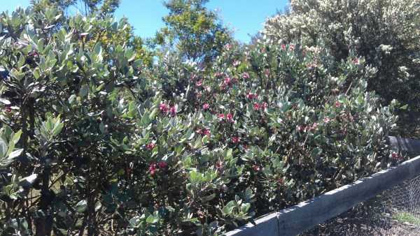 Feijoa bushes in flower at Yummy Gardens Melbourne