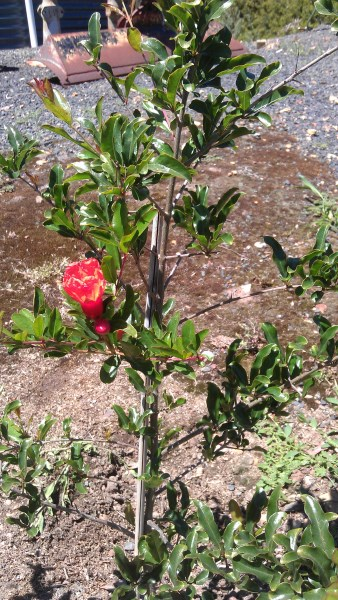 1st pomegrante on a young tree at Yummy Gardens Melbourne