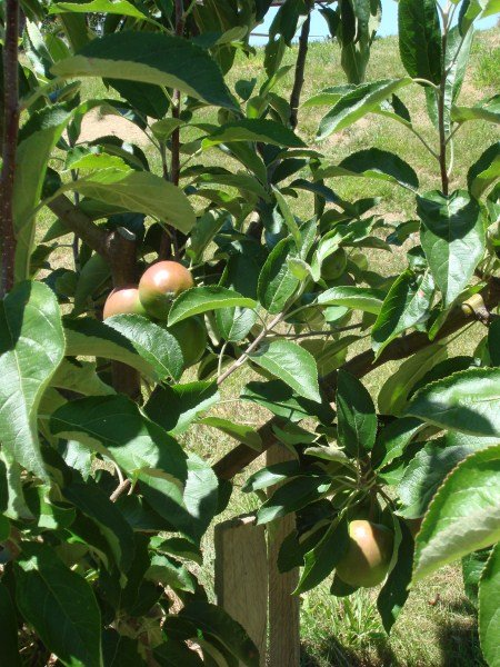 Apple Tree at Yummy Gardens Melbourne