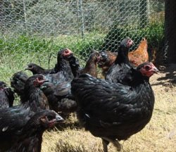 Young Australorp cross chickens from Yummy Gardens Melbourne
