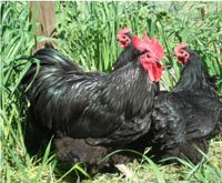 australorp chickens for sale