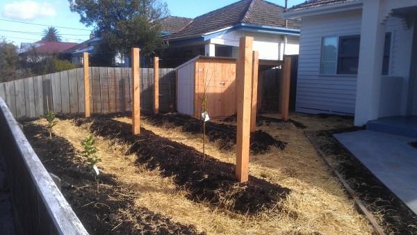 Establishing an espaliered front garden & garden shed designed & built by Yummy Gardens Melbourne
