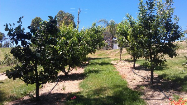 Fruit trees with drip irrigation watering by Yummy Gardens Melbourne