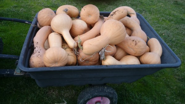 Our pumpkin harvest at Yummy Gardens Melbourne